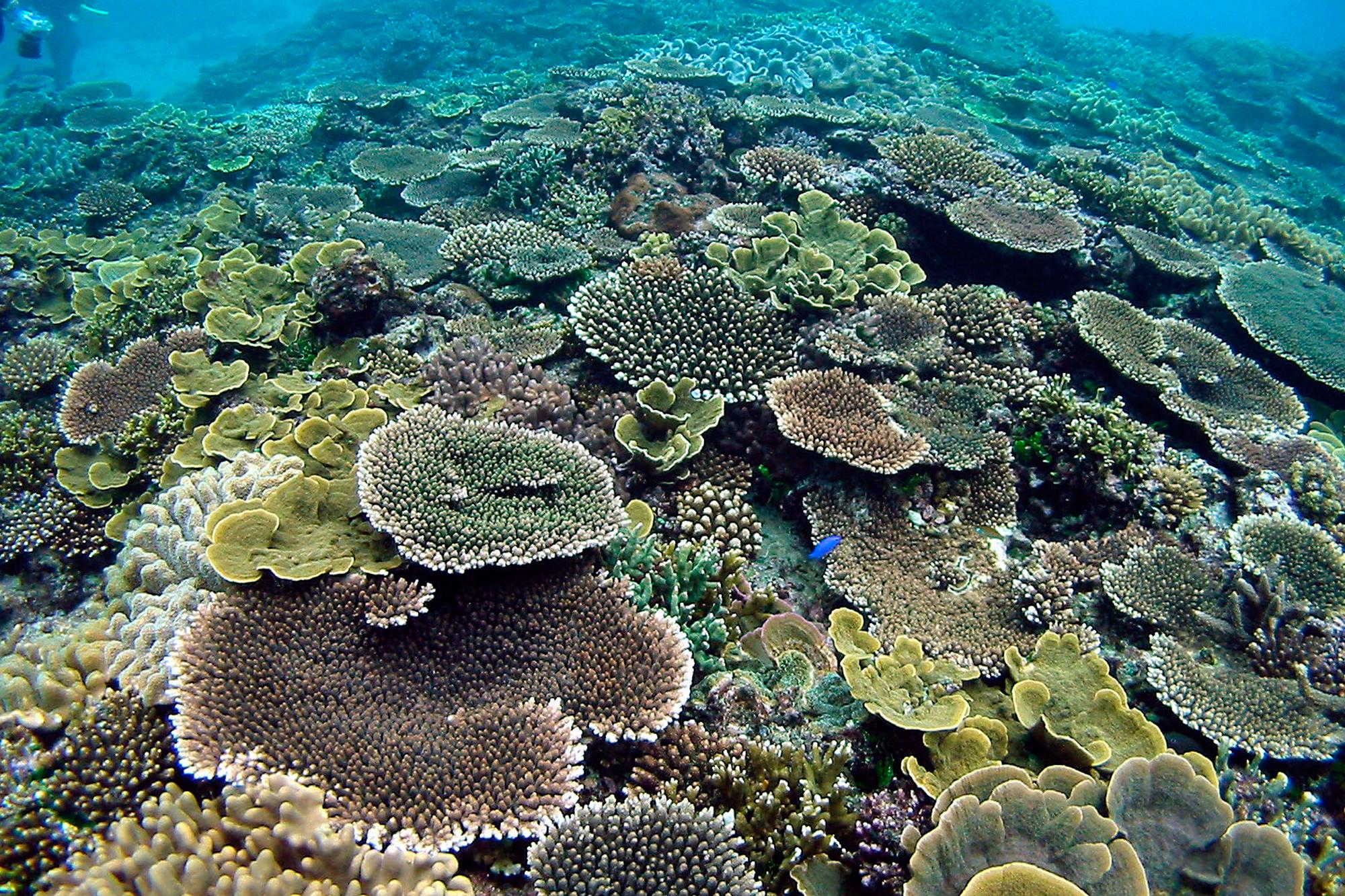 プライベートビーチでの珊瑚とルリスズメダイ