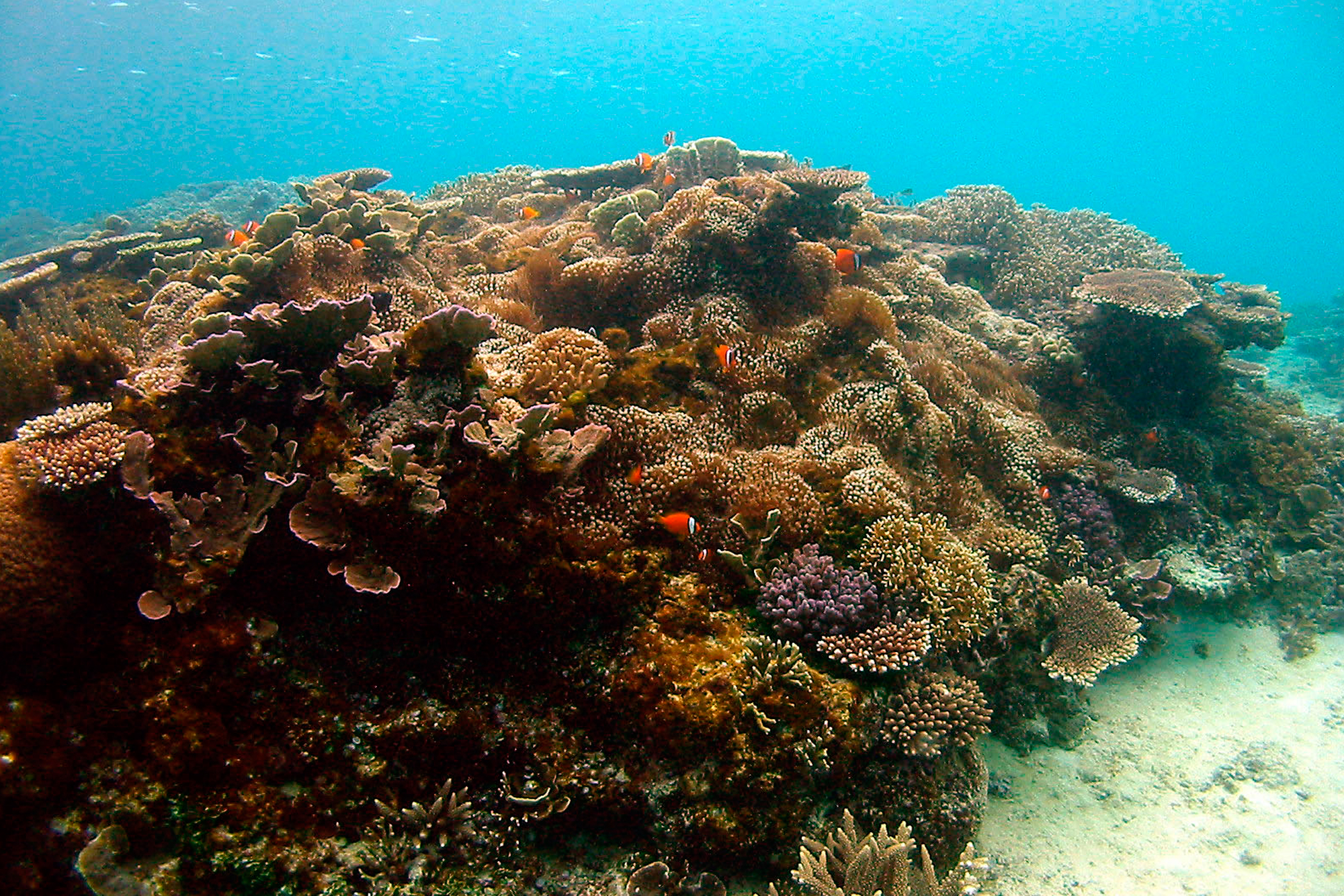 プライベートビーチでの珊瑚とクマノミ